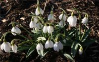 Galanthus Castle Group